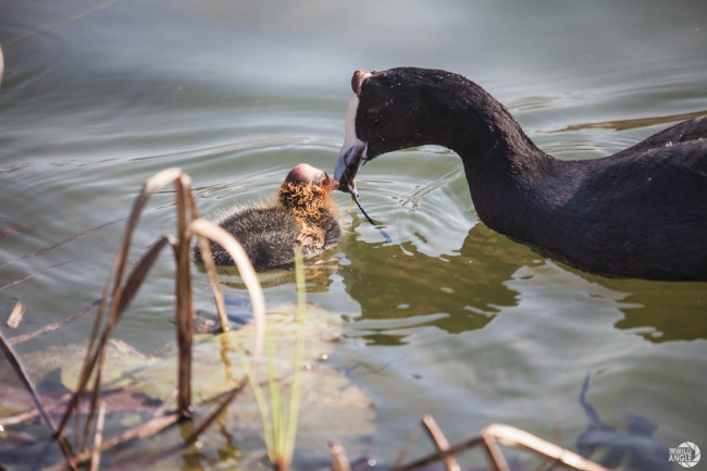 green_point_park_birds_06_red_knobbed_coot
