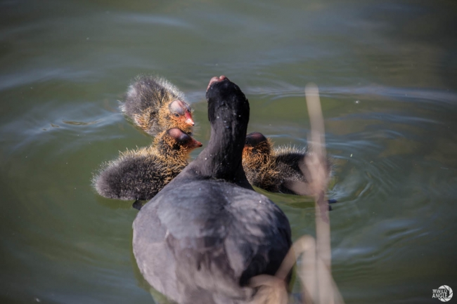 green_point_park_birds_08_red_knobbed_coot