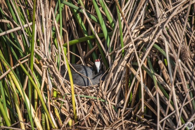 green_point_park_birds_11_red_knobbed_coot