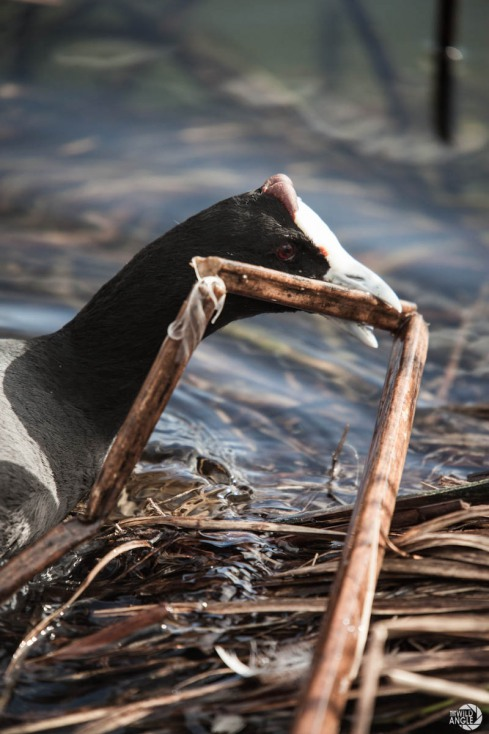 green_point_park_birds_02_red_knobbed_coot