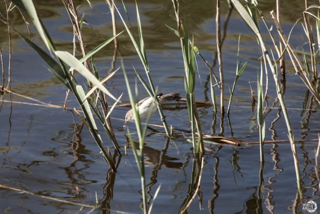 green_point_park_birds_05_reed_warbler
