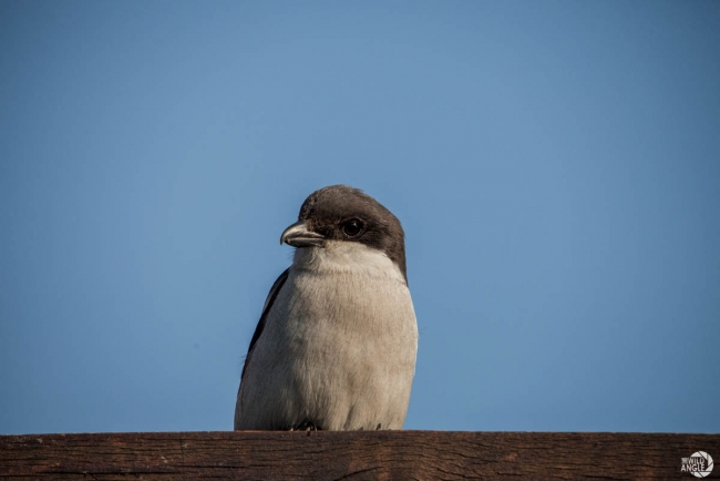 green_point_park_birds_12_fiscal_shrike