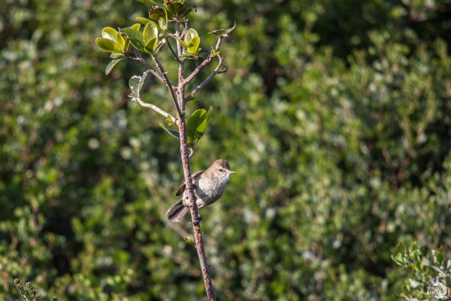 green_point_park_birds_13_reed_warbler