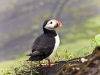 Iceland_puffin