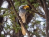 kgalagadi_yellow_billed_hornbill_25