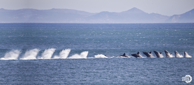 whale_coast_south_africa_04
