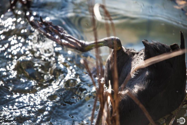 green_point_park_birds_07_red_knobbed_coot